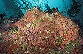 Anémones de mer colonisant un rocher dans les profondeurs