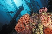 Diver near a rocky reef in a Kelp forest Pacific Ocean USA