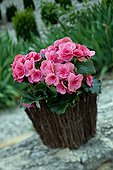 Double flower tuberous begonia in a garden in Provence