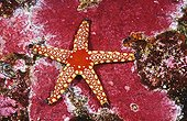 Peppermint Sea Star resting on coral Indian Ocean