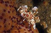 Harlequin Shrimp moving on a Sea Star ; Feeds on sea stars.