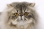 Portrait of a blue spotted Persian Tabby