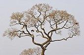 Couple of American jabirus close to nest Pantanal Brazil