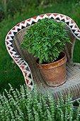 Basil on a garden armchair in Provence France