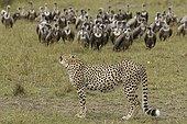 Cheetah and Vultures Nature Reserve Masai Mara Kenya