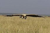Vautour africain en vol Masaï Mara Kenya