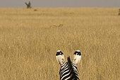 Lionness hunting a zebra Masai Mara Kenya