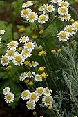 Roman chamomile in bloom in a garden of Provence