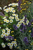 Roman chamomile and lavender in a garden of Provence