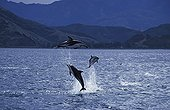 Group of Dusky Dolphins jumping out of water New Zealand