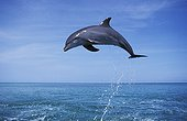 Bottlenose Dolphin jumping out of water Honduras Caribbean