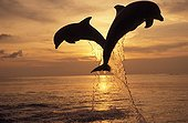 Bottlenose Dolphins jumping out of water at sunset Honduras