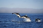 Pacific White-sided Dolphins leaping Pacific Northwest