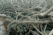 Tangled roots of mangrove Mangrove Martinique