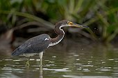 Tricolored Heron having caught a fish French Guiana