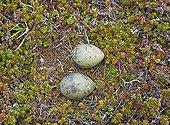Arctic Skua eggs on tundra Norway