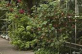 Mexican orange blossum and abutilon in bloom in a garden