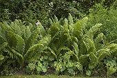 Ostrich fern in a garden