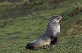 Young Antarctic Fur Seal resting South Georgia