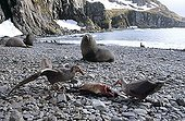 Northern Giant Petrel (Macronectes halli) devouring the remains of King penguin