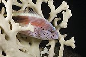 Blackside Hawkfish in Fire Coral Red Sea Egypt