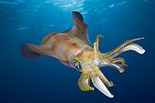 Bigfin Reef Squid swimming in the Red Sea Egypt