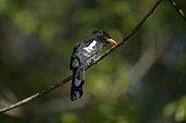 Black Nunbird watching landed on a branch Brazil