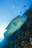Napoleon Wrasse swimming at Elphinestone Reef Red Sea Egypt