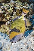 Titan Triggerfish at Daedalus Reef Red Sea Egypt