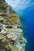 Fire Coral and Hard Coral at Elphinestone Reef Red Sea Egypt