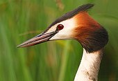 Portrait of a Great Crested Grebe on a pond of Mayenne