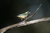 Burnished-buff tanager perched on a branch Brazil