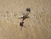 Marsh Harrier carrying a prey Lithuania