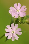Dioecious Silene flower in the Bois des Loges