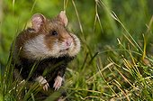 A Black-bellied Hamster in grass cheeks full Vienna