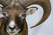 Portrait of Mouflon in the park Veldensteiner Forst
