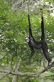 White-whiskered Spider Monkey hanging from a branch Brazil
