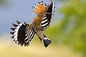 A Eurasian Hoopoe flying to its nest Alsace