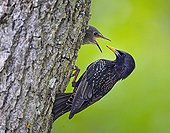 Common Starling feeding her chick in the nest Estonia