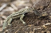 Lava lizard eating a young of the same species