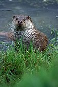 European otter on the bank of a river GB