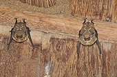 Two White-lined sac-winged Bats resting upside-down Brazil