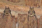 Deux Chauves-souris au repos la tête en bas au Brésil