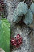 Cacaoyer avec fleurs fruits et feuille au Brésil Amazonie