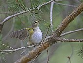 Willow Warbler on a branch Estonia
