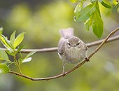 Willow Warbler on a branch Finland