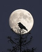 Hooded Crow on conifer at fullmoon Finland