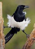 European Magpie on branch Spain