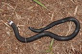 Worm Lizard crawling on the floor Guyana