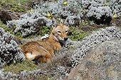 Loup d'Abyssinie au repos dans les montagnes d'Ethiopie ; Caniné le plus rare au monde